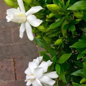 白い花は雨がお好き ?