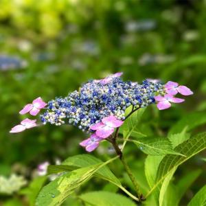 小雨トキドキ紫陽花 ♡