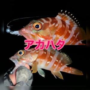 あかハタ(゚Д゚ノ)ノ×高級魚×みらくるライトゲーム