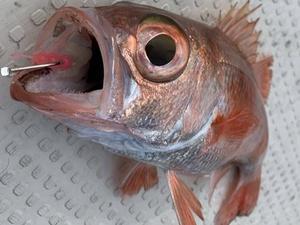 ノドグロ!×高級魚(*´ω`*)×アカムツのこと
