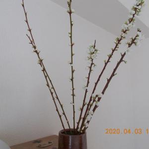 200403 染井吉野