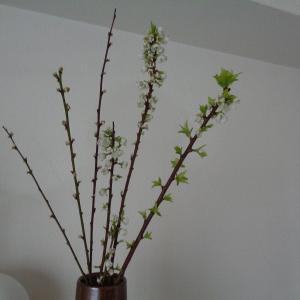 200408 染井吉野切花