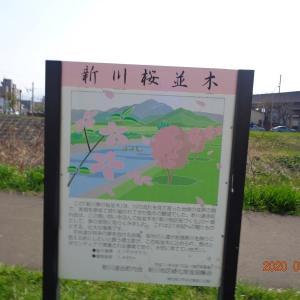 200502 新川さくら並木