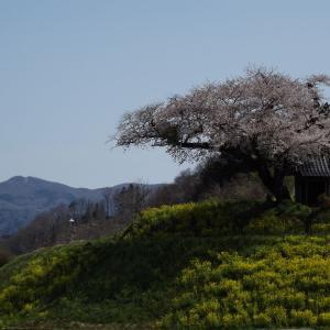 田村市~小沢の桜