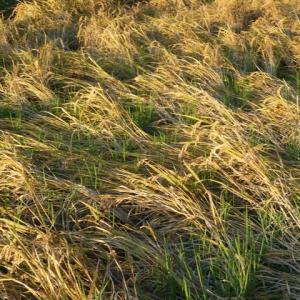 直播き稲の刈り取り時期は