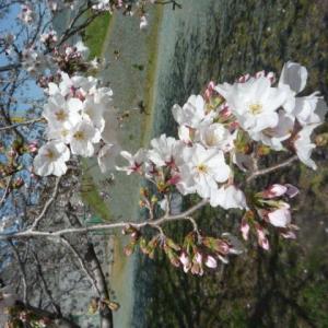 久しぶりの好天で桜が8分咲きに