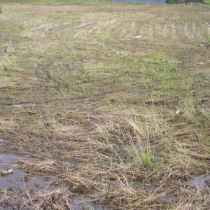 稲の発芽にむらがある。