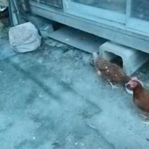 鶏が5羽・・・どこからか抜けだしてくる