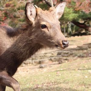 晩秋の若草山の麓で鹿とたわむれ、聖武天皇の御陵へと