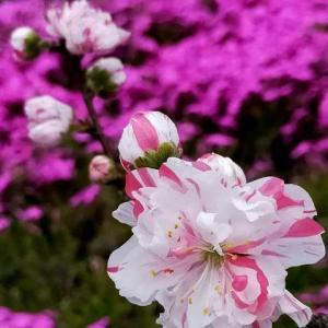 今春のお花見は、ジモトでプチ☆ドライブ