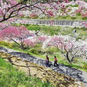 花桃の咲く春も今は彼方。運が良いか悪いのか