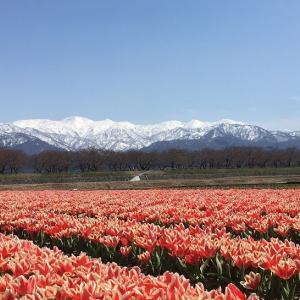 桜咲く北陸7名城巡りと、あさひ舟川春の四重奏。