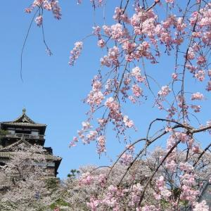 正に桜の城と化した越前丸岡城は、数少なき現存天守