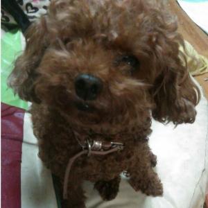 """""""緊急❗犬を探しています。""""千葉県船橋市"""