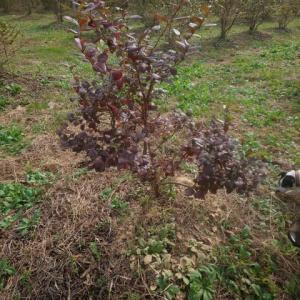 ブルーベリーの紅葉始まりました