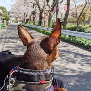 桜並木をチャリチャリ~