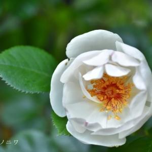 薔薇の初開花は