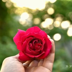 北海道の薔薇の色 6月2日の庭