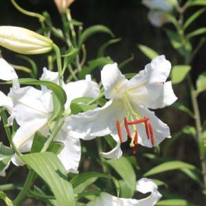 「百合が原公園」のユリの花など(No.1)