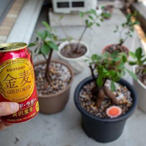 【観葉植物】ガジュマルの植え替えと剪定と新メンバー追加!【2020年版】【後編】