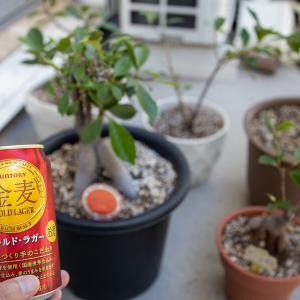 【観葉植物】ガジュマルについた虫が消えない・・・