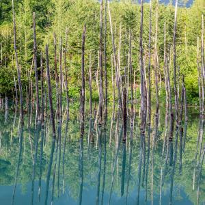 【旅行】ナイタイ高原牧場にファーム富田、青い池も!道央の観光名所を巡る1日