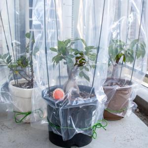【観葉植物】ガジュマルは簡易温室で屋外越冬できるのか?