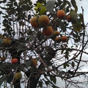 柿( ゚ー゚)