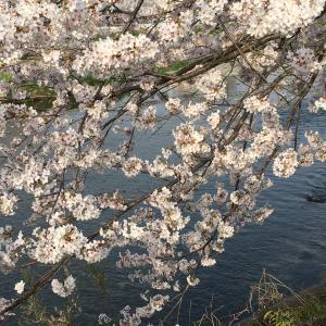 今年の桜  2018年!その2