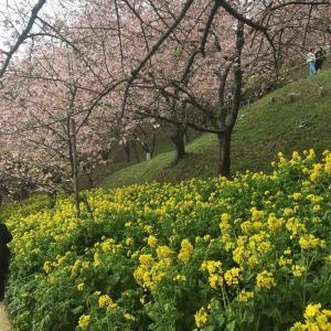今年の桜  2018年!その1