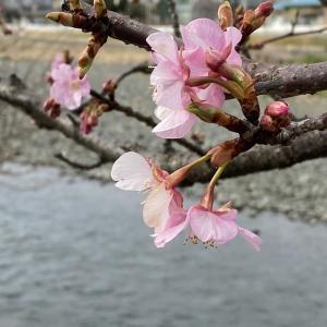 2020年 今年の早咲き桜! その1