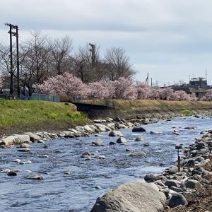 2020年 今年の早咲き桜! その2