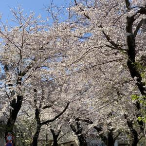 2020年 今年の桜! その1