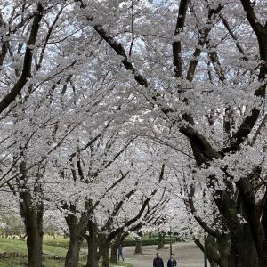 2020年 今年の桜! その2