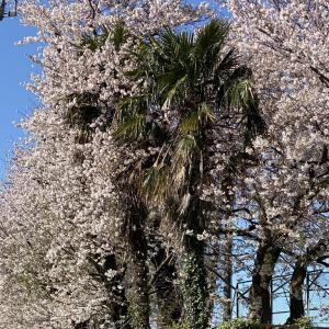 2020年 今年の桜! その3