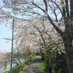 今年の桜 2019年! その3