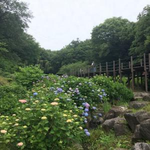 今年の紫陽花!
