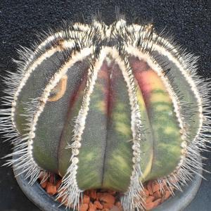 2鉢のペクチニフェラ