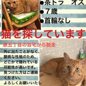 【拡散お願いします】 迷い猫探しています 名古屋市天白区