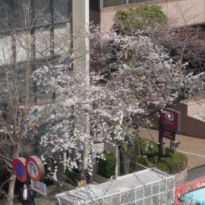 2019.3.22   東京九段、靖国通り桜情報 Tokyo Kudan, Yasukuni Street Sakura Information