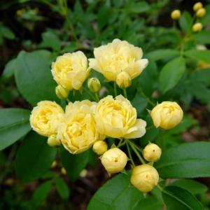 モッコウバラが咲いたヨ!