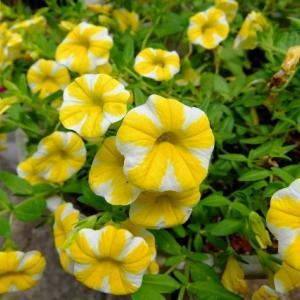 夏の花が元気に咲いてきたヨ!