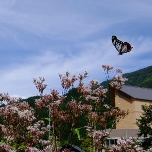 あさぎ色の蝶に会いに行ってきたヨ!