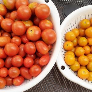 大量のトマトで