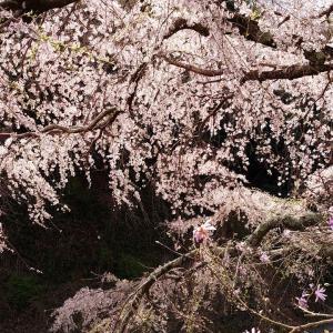 ウォーキングで見た垂れ桜とおにぎり弁当🐼
