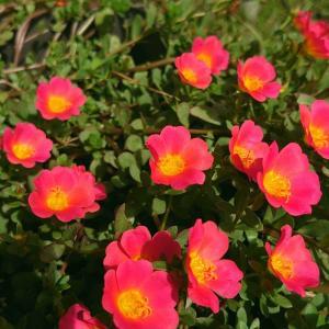 庭の花とか観葉植物(ペペロミア)とか…日常のこと