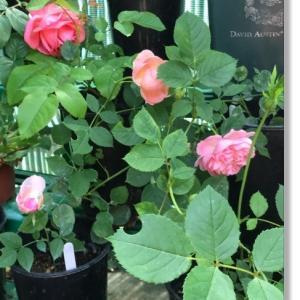 挿し木 2年目のバラ
