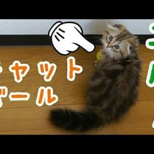 【エルくん】リンリンボールで遊ぶ子ネコ