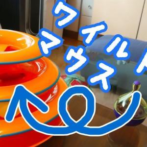 【エルくん】ワイルドマウスで遊ぶ子ネコ【スコティッシュフォールド】