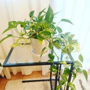 ジャングル化したポトスは株分けして家中に置いています